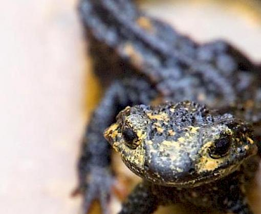 Japan lists endangered endemic reptiles and amphibians on CITES to protect them from illegal international pet trade