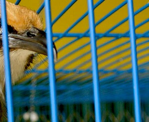 Trade is the straw breaking the Straw-headed Bulbul's back, says new paper