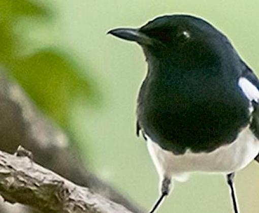 Smuggled for its Song: The Trade in Malaysia's Oriental Magpie-robins