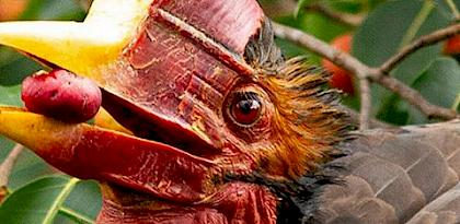 Critically Endangered Hornbill gets a protection boost in Thailand.