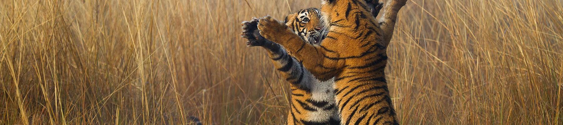 Two tiger cubs Panthera tigris playing © Souvik Kundu / WWF
