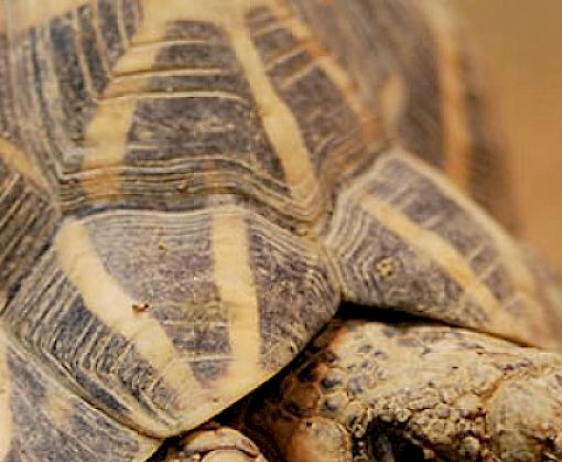 Indian Star Tortoise seizure in Thailand brings year's total to over 6000 individuals seized