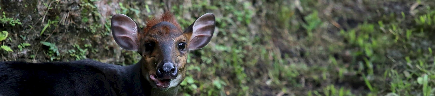 The black duiker: managed hunting provides a sustainable source of wild meat for local communities © cuatrok77 / Creative Commons 2.0