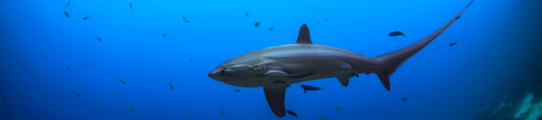 A silky shark, now listed in CITES © Syn / Generic CC 2.0