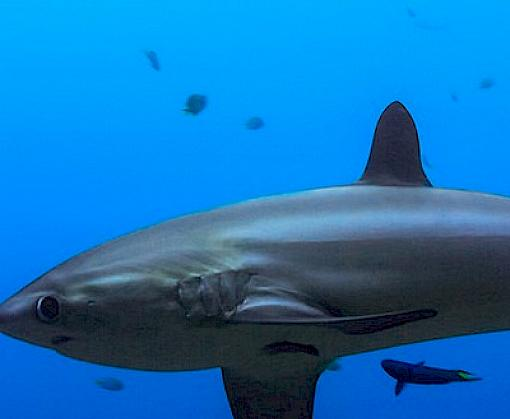 "New CITES shark listings welcomed; ""Now the Real Work Begins"""
