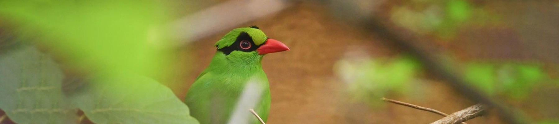 Javan Green Magpie: trapped out of the wild – its future survival depends on captive breeding programmes © Chester Zoo