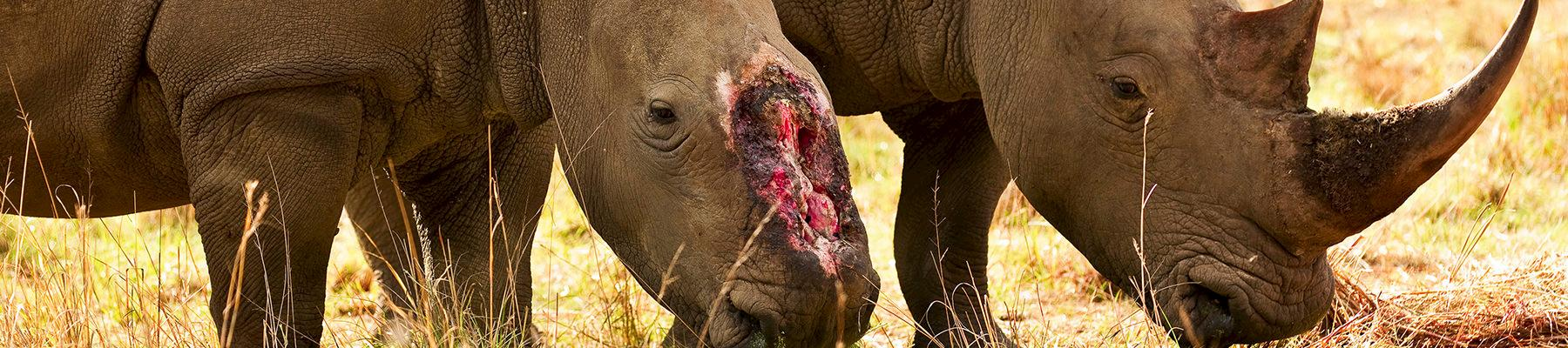 A female rhino who survived a brutal dehorning by poachers in Natal, South Africa © Brent Stirton / Getty Images / WWF-UK
