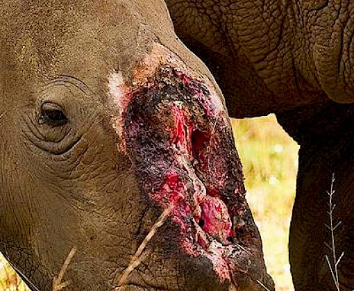 South Africa: rhino poaching in 2017 almost matches 2016 figure, with KwaZulu Natal now bearing the brunt