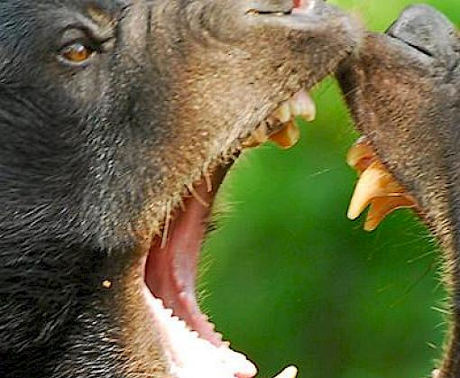 Experts gather to develop a Sun Bear conservation plan–the first ever for bears