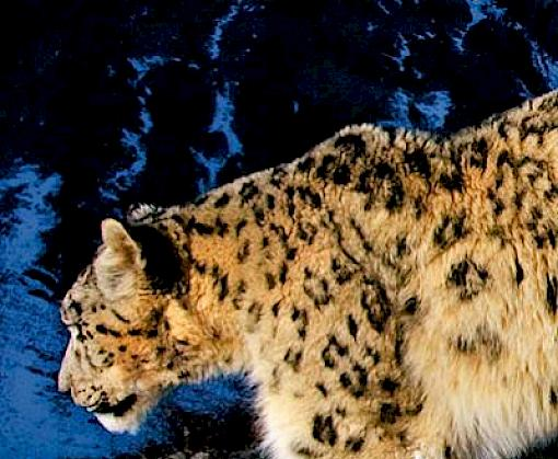 Snow leopard summit marks halfway point for saving the guardian of Asia's high mountain ecosystems