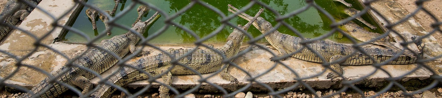 Captive Gharial's Gavialis gangeticus at the Royal Chitwan National Park and Gharial Breeding Center in Nepal © Karine Aigner / WWF-US