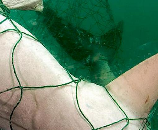 Indian Ocean sharks at risk from deepwater gillnets