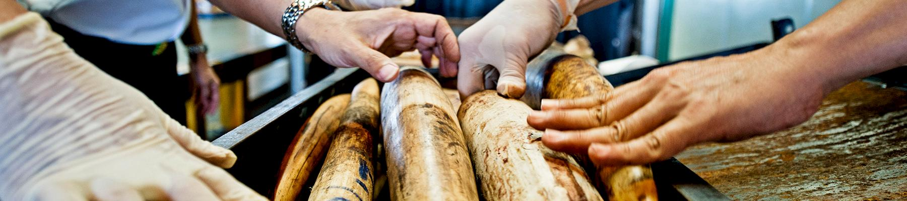 Seized Shipment of Illegal African Elephant Tusks, Thailand. © WWF / James Morgan