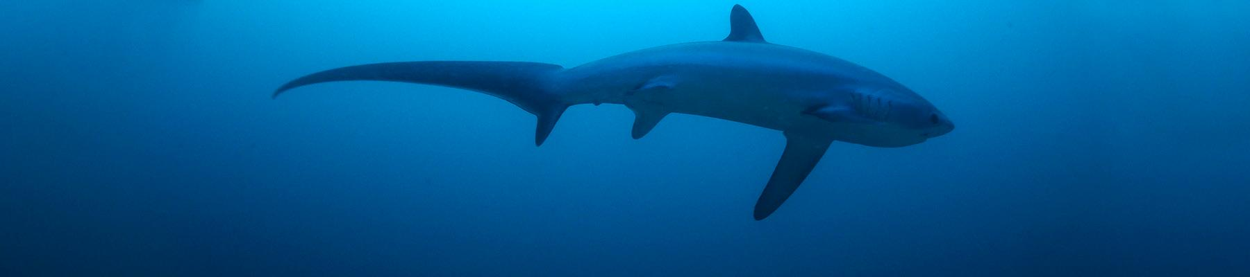 Thresher shark © Klaus Stiefel / Creative Commons 2.0