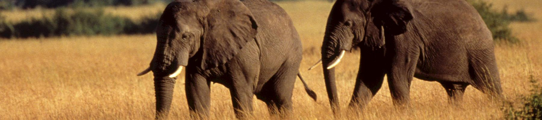 Two African elephants Loxodonta africana © Howard Buffett / WWF-US