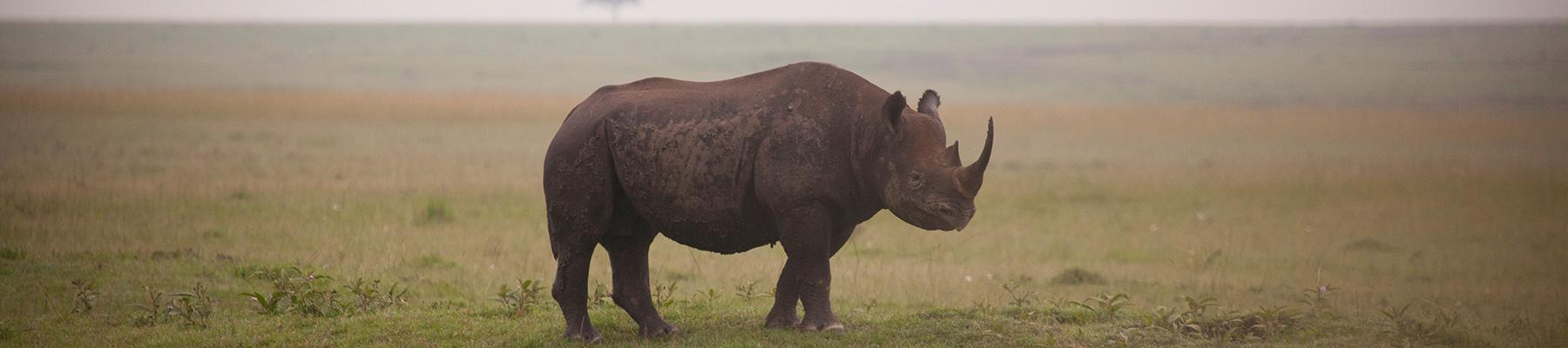 Black Rhino Diceros Bicornis, the more threatened of Africa's two rhino species © Richard Edwards / WWF-UK