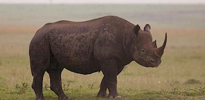 South Africa annual rhino poaching toll falls for second year running but the crisis continues