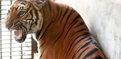Thai seizure of a dozen captive tigers resurrects farming threat