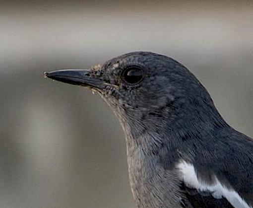Experts plan to save Asia's songbirds
