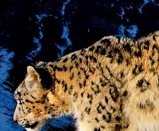 An ounce of prevention: Snow leopard crime revisited