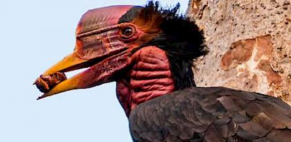 Helmeted Hornbill trade in Lao PDR