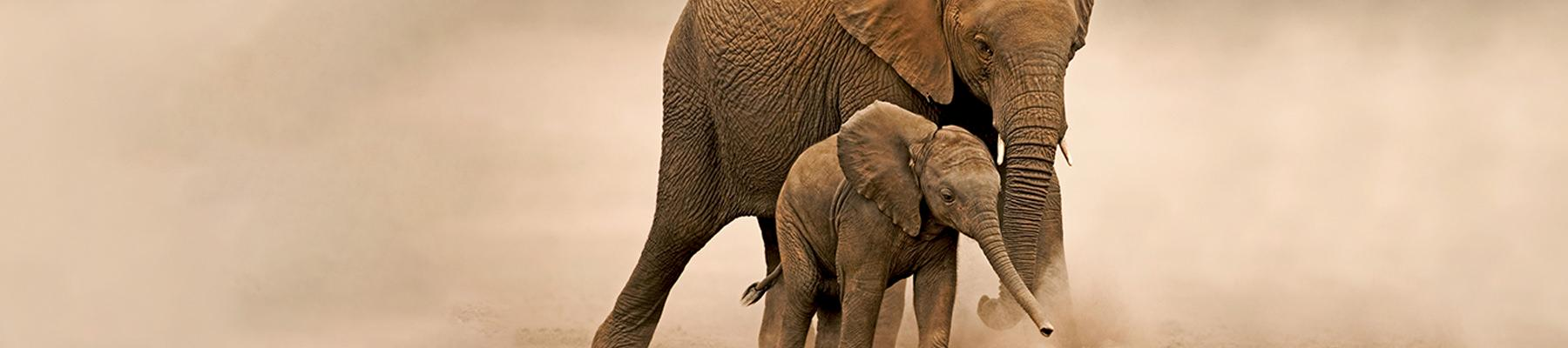 African elephant Loxodonta africana, young calf with adult female in Amboseli National Park, Kenya © Martin Harvey / WWF
