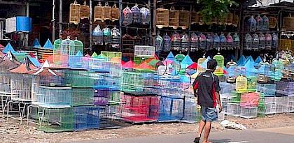 In the Market for Extinction: An inventory of Jakarta's bird markets