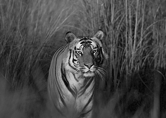 World Tiger Day 2017