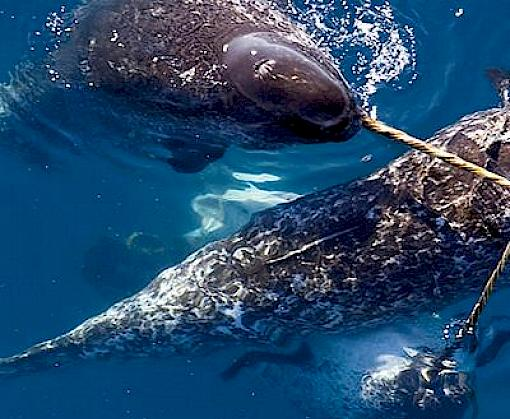 Breaking the Ice: International trade in Narwhals, in the context of a changing Arctic
