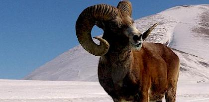 A Framework for CITES non-detriment findings for hunting trophies with a focus on Argali Ovis ammon