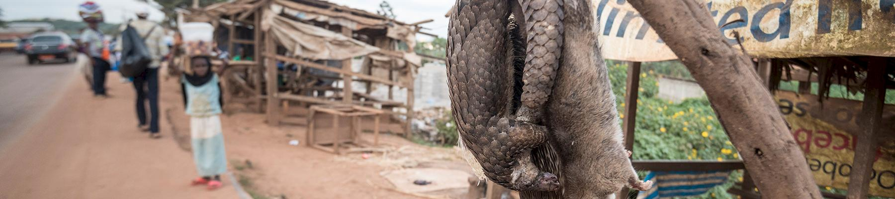 Bushmeat displayed for sale in Cameroon © A. Walmsley / TRAFFIC