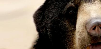 Pills, Powders, Vials & Flakes: The bear bile trade in Asia
