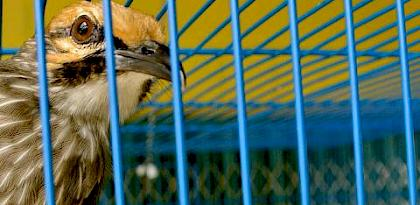 IUCN Red List update highlights trade threat to Southeast Asian birds