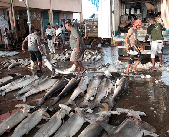 Sharks awaiting processing at a market in Delhi, India © Andy Cornish / WWF