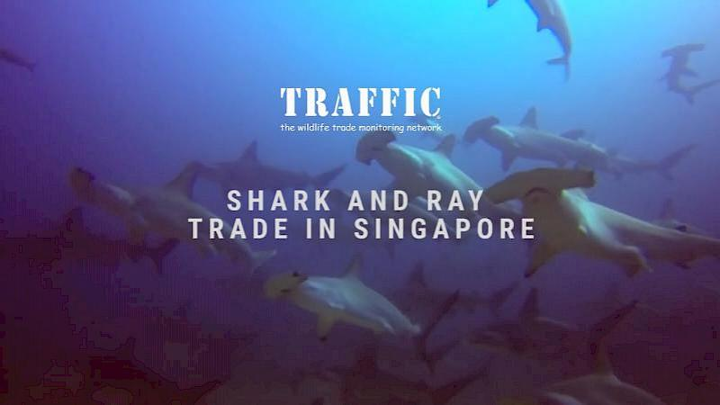 Shark and Ray Trade in Singapore