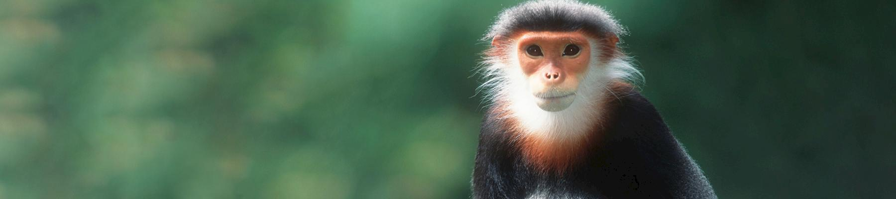 Red-shanked Douc Langur Pygathrix nemaeus nemaeus are endemic to Viet Nam © Martin Harvey / WWF