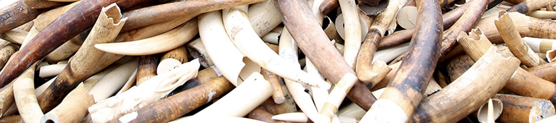File photo of seized ivory © Margot  L'Hermite / WWF-France