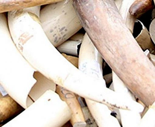 Viet Nam under scrutiny after remarkable sequence of ivory seizures