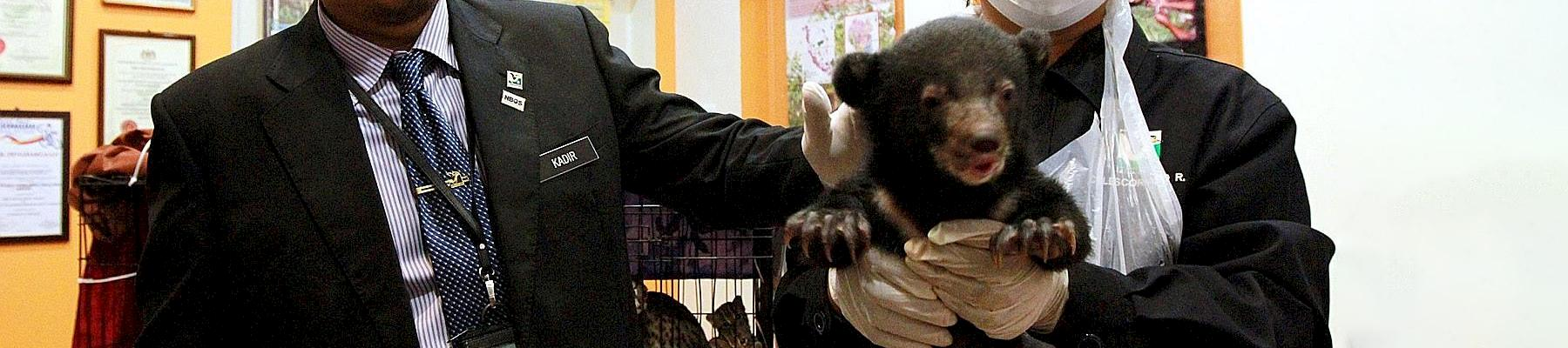 Mr Abdul Kadir (left) showing the rescued one-month-old sun bear at the Perhilitan headquarters on Tuesday ©  THE STAR/ASIA NEWS NETWORK