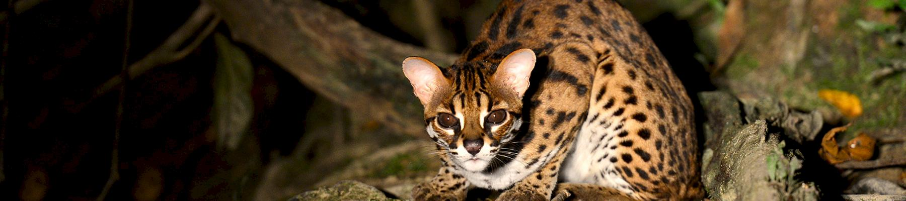 A Leopard Cat Prionailurus bengalensis, was among the animals seized © Mark Louis Benedict / CC Generic 2.0