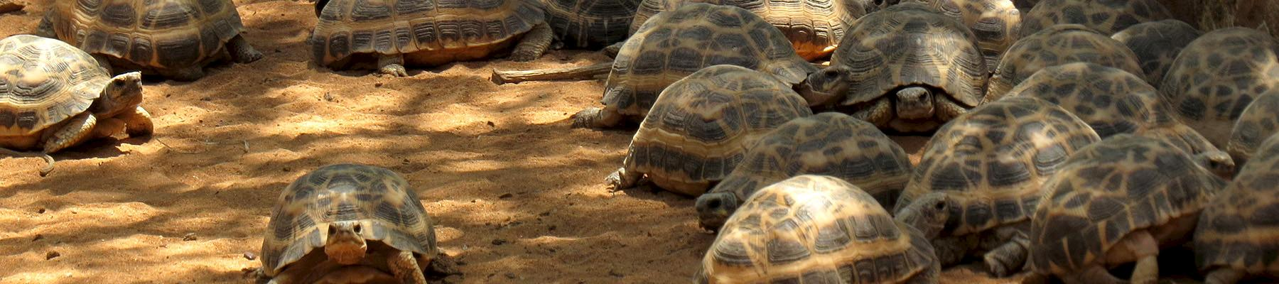 Radiated Tortoises are just one African wildlife species which is regularly smuggled from Africa © anntrueann / CC Generic 2.0
