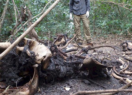 Wildlife forensics experts analysing an elephant carcass © TRACE Network