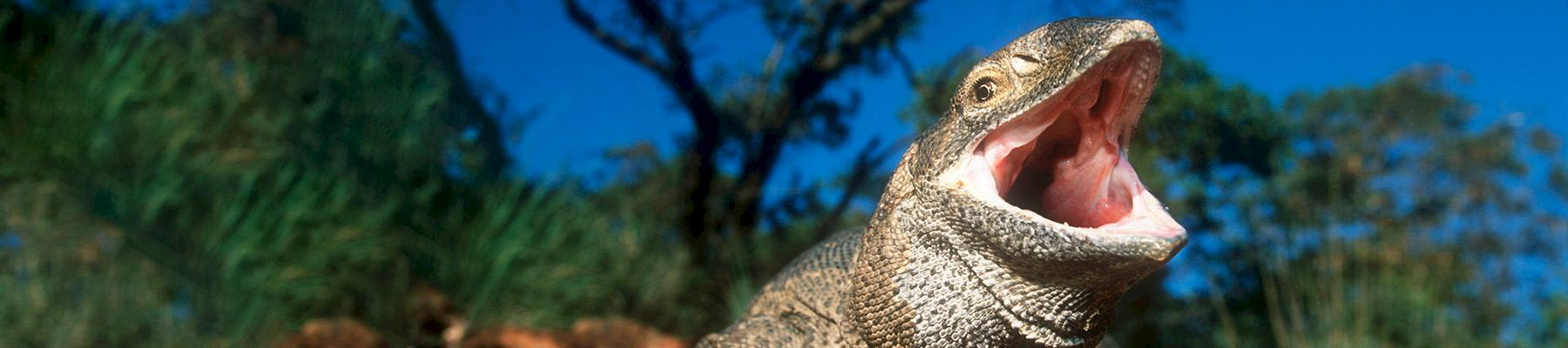 Savannah monitor Varanus exanthematicus, a CITES-listed species imported into the EU © Martin Harvey / WWF