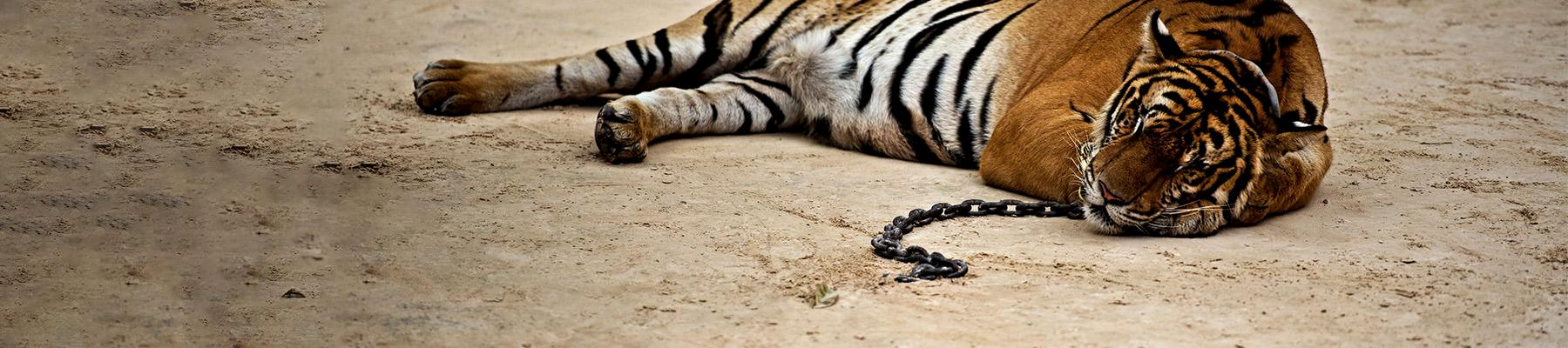 A captive Tiger Panthera tigris, either tamed or drugged in Thailand © James Morgan / WWF