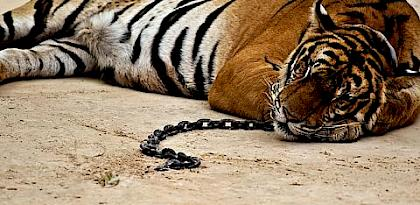 Taming the tiger trade: China's markets for wild and captive tiger products since the 1993 domestic trade ban