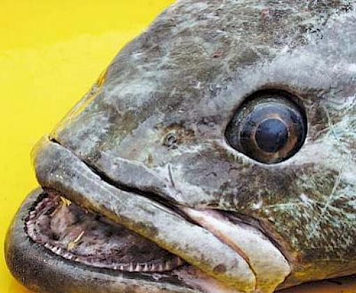 Toothfish floundering after years without CITES protection