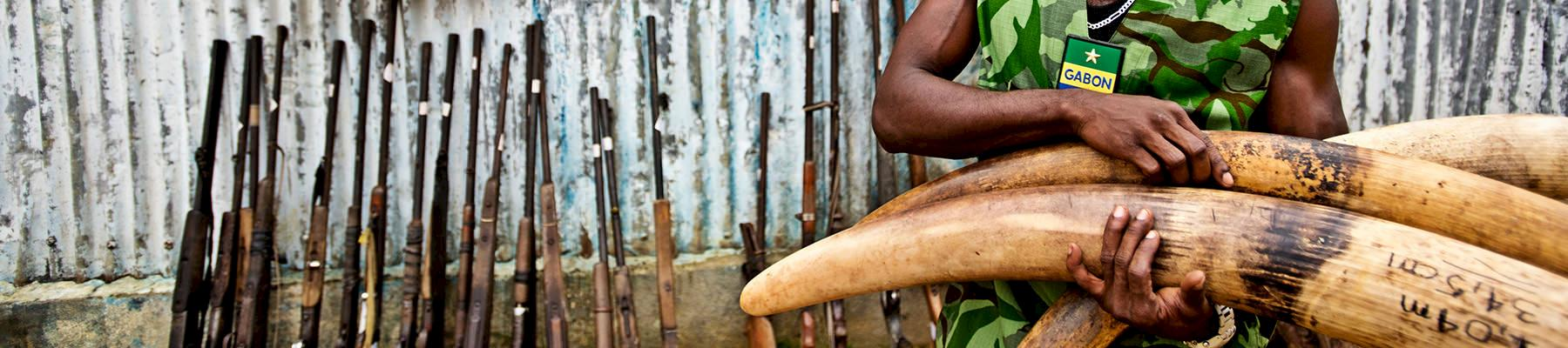 Seized poached elephant tusks and poacher's weapons, Oyem, Gabon © WWF / James Morgan