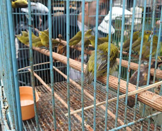 Oriental White-eyes Zosterops palpebrosus ready for sale © TRAFFIC