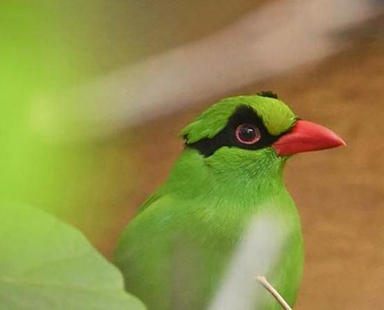 Javan Green Magpie, trapped out of the wild – its future survival depends on captive breeding programmes © Chester Zoo