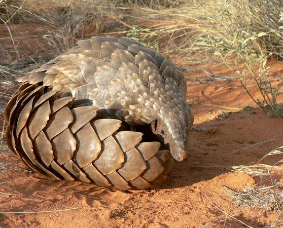 Ground pangolin Smutsia temminckii, pangolins are predominantly poached for their scales and meat © Darren Pietersen / African Pangolin Working Group
